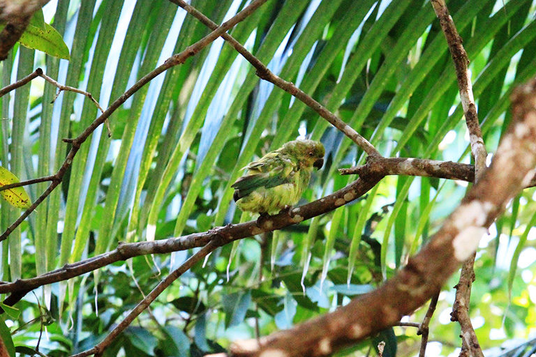 BFDV-infected Mauritius parakeet. Photo courtesy of Deborah Fogell/University of Kent