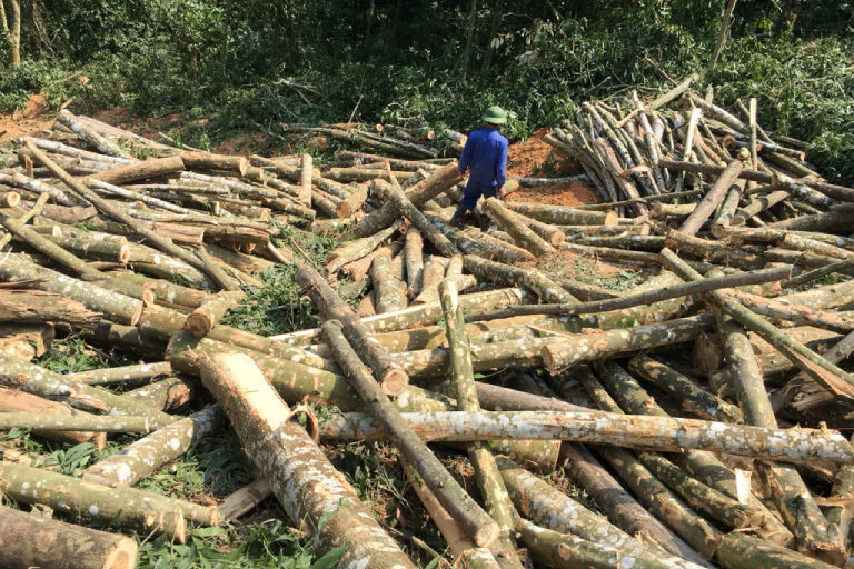Harvesting Acacia trees in Nghe An Province. Photo courtesy of May Forestry.