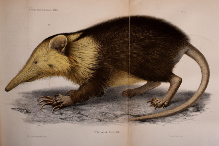 The Cuban solenodon (Atopogale cubana) is one of the last surviving species of a group of ancient mammals that lived alongside dinosaurs about 76 million years ago. The Cuban solenodon represents 22 million years of unique evolution in the mammal tree of life. Image courtesy of Wikimedia commons.