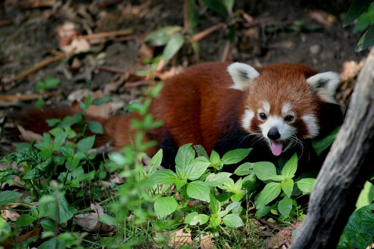 The red panda (Ailurus fulgens) occupies one of the most precarious branches of the mammal tree of life. If it goes extinct, we will lose 31 million years of mammal evolutionary history. Photo courtesy of Wikimedia commons.