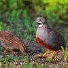 Sumatran partridge (Arborophila sumatrana), endemic to the island of Sumatra, no longer survives outside protected areas, according to researchers. Photo by Roland Wirth