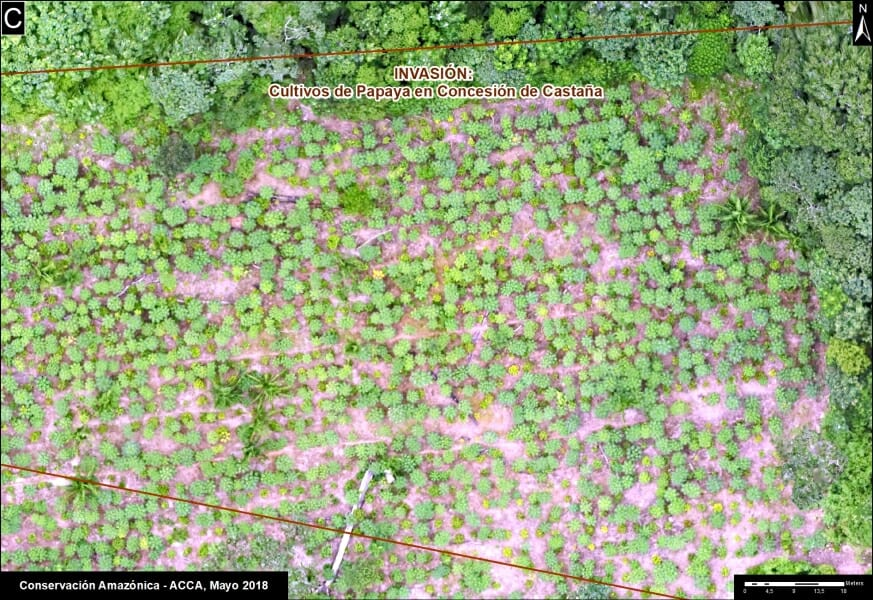 An illegal papaya plantation within a Brazil nut concession, as seen from above.
