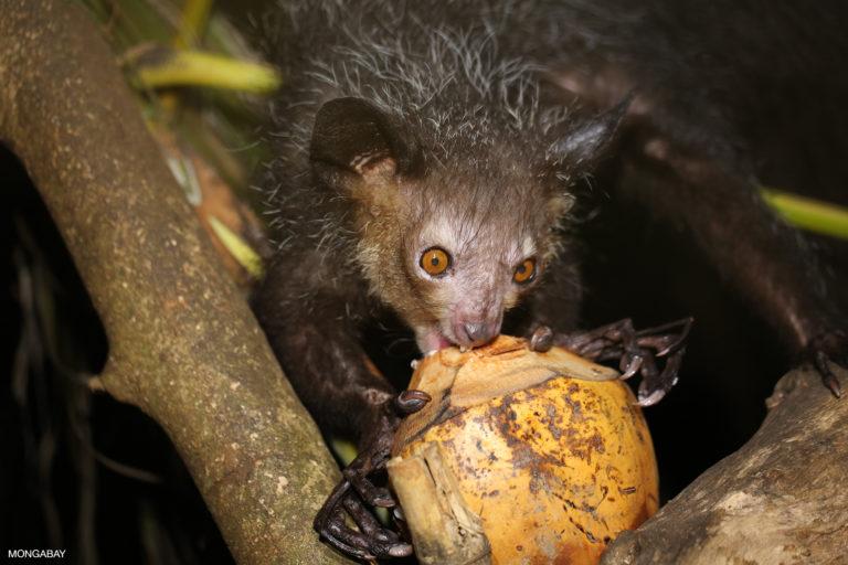 Aye-aye feeding on a coconut. Photo by Rhett A. Butler.