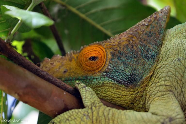 Parson's chameleon (Calumma parsonii). Photo by Rhett A. Butler.