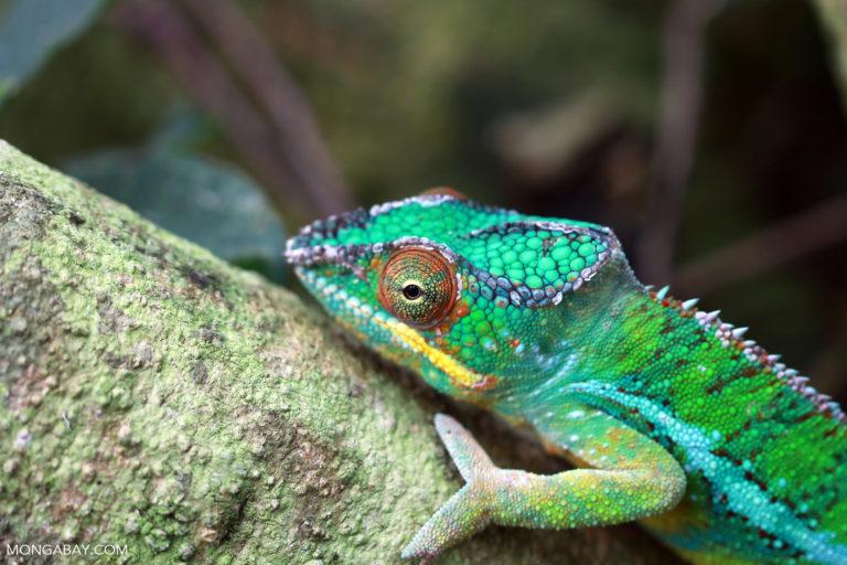 Male panther chameleon (Furcifer pardalis). Photo by Rhett A. Butler.