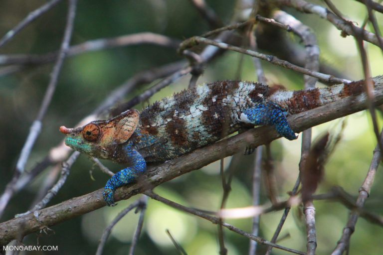 Calumma crypticum chameleon. Photo by Rhett A. Butler.
