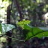 Mantis in Suriname's rainforest.