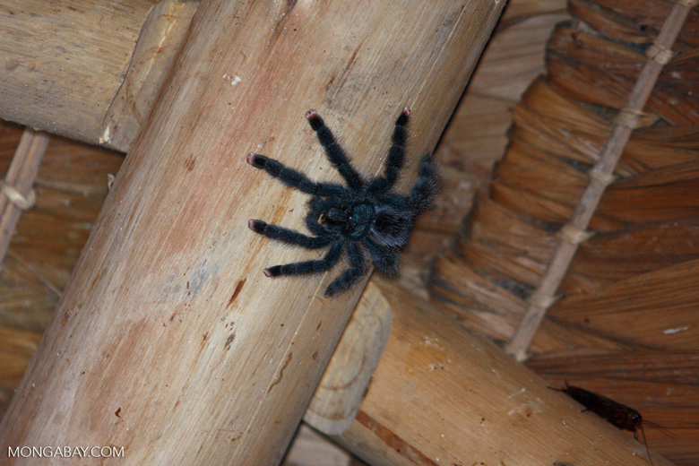 Cobalt Blue Tarantula (Avicularia metallica). Photo by Rhett A. Butler.