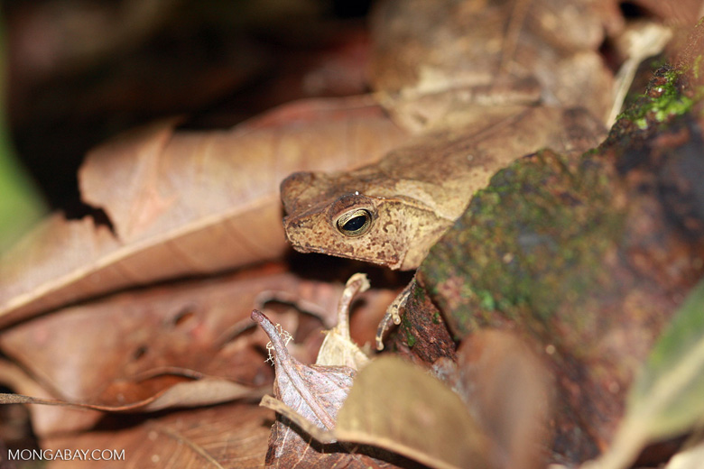 Leaf toad (Bufo species). Photo by Rhett A. Butler.