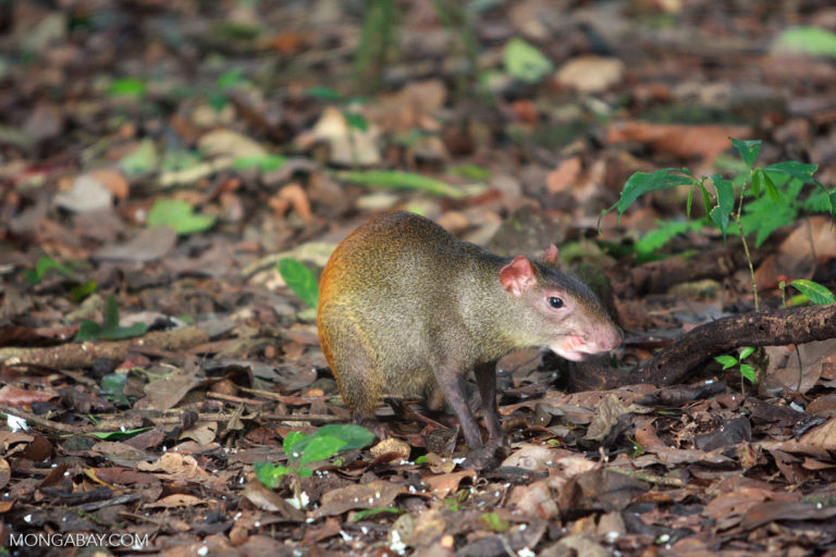 An agouti, a ground-dwelling rodent that is an important seed disperser in New World forests.