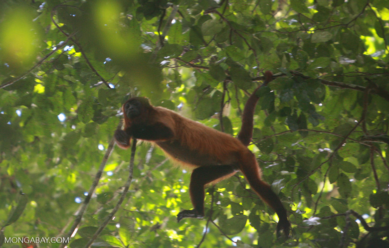 Red howler monkey after being shot.