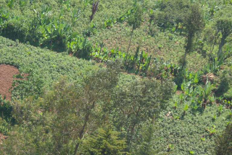 Ethiopia: Khat farming threatens food security, biodiversity