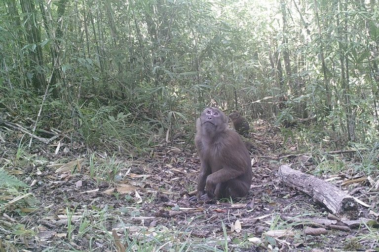 Arunachal Macaque. Camera trap images by Nandini Velho et al.