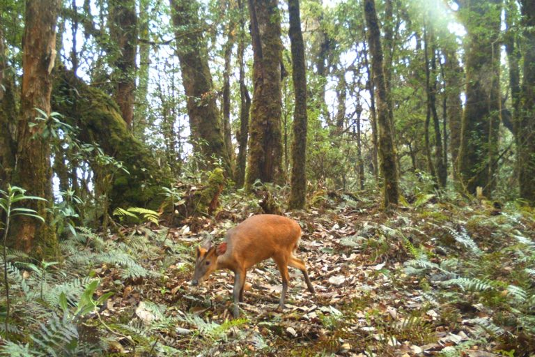 Barking deer. Camera trap images by Nandini Velho et al.