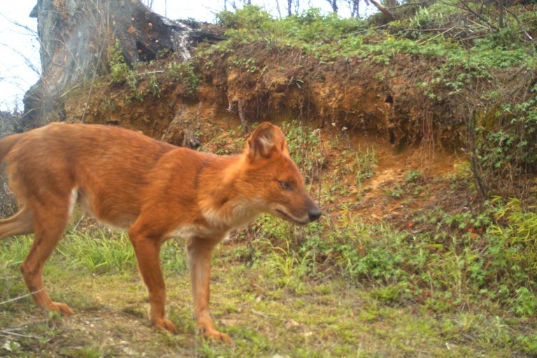 Dhole or wild dog. Camera trap images by Nandini Velho et al.