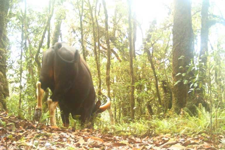 Gaur. Camera trap images by Nandini Velho et al.