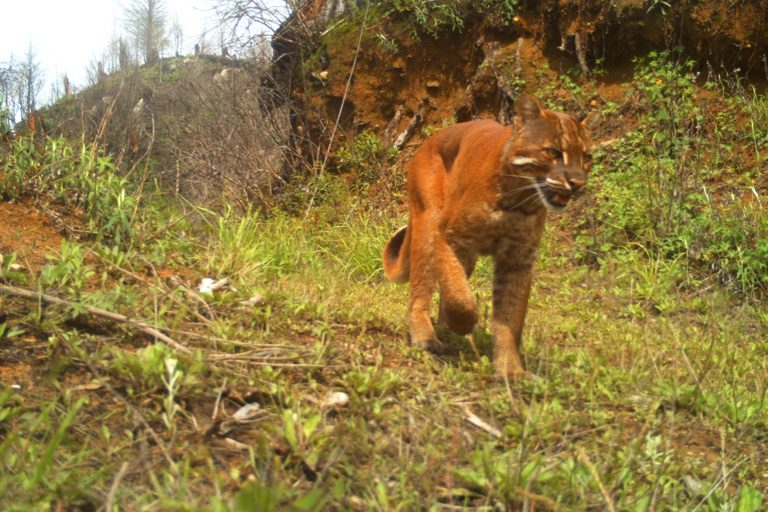 Golden cat. Camera trap images by Nandini Velho et al.