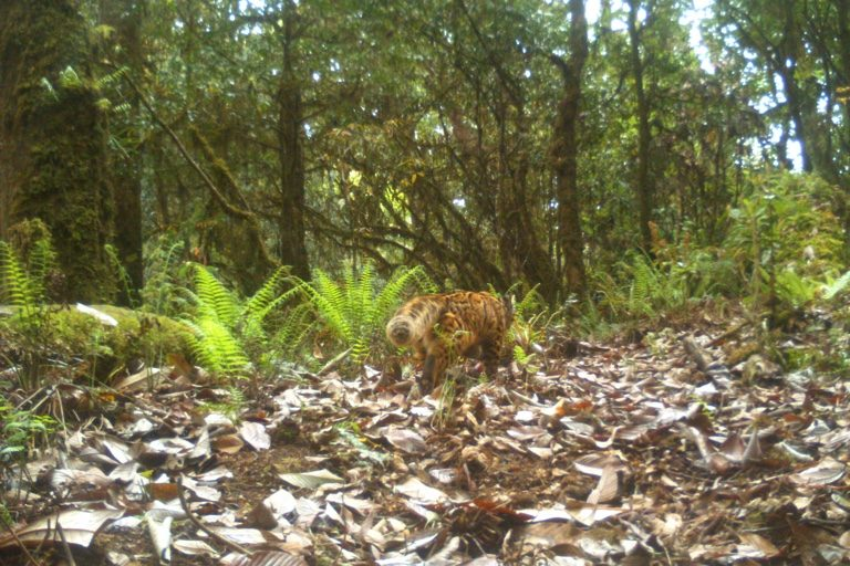 Marbled cat. Camera trap images by Nandini Velho et al.