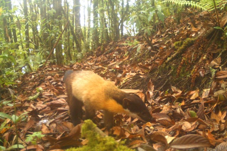 Yellow-throated marten. Camera trap images by Nandini Velho et al.