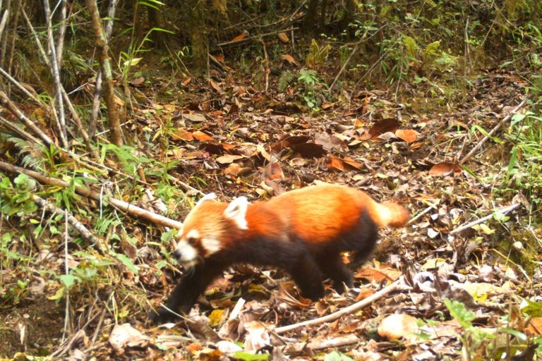 Red Panda. Camera trap images by Nandini Velho et al.