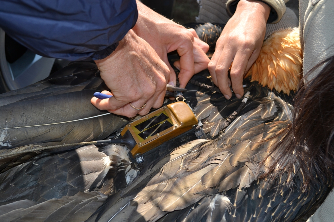 Close-up of the backpack GPS transmitter. Fitting a tracking tag on large bird like a vulture takes a team.