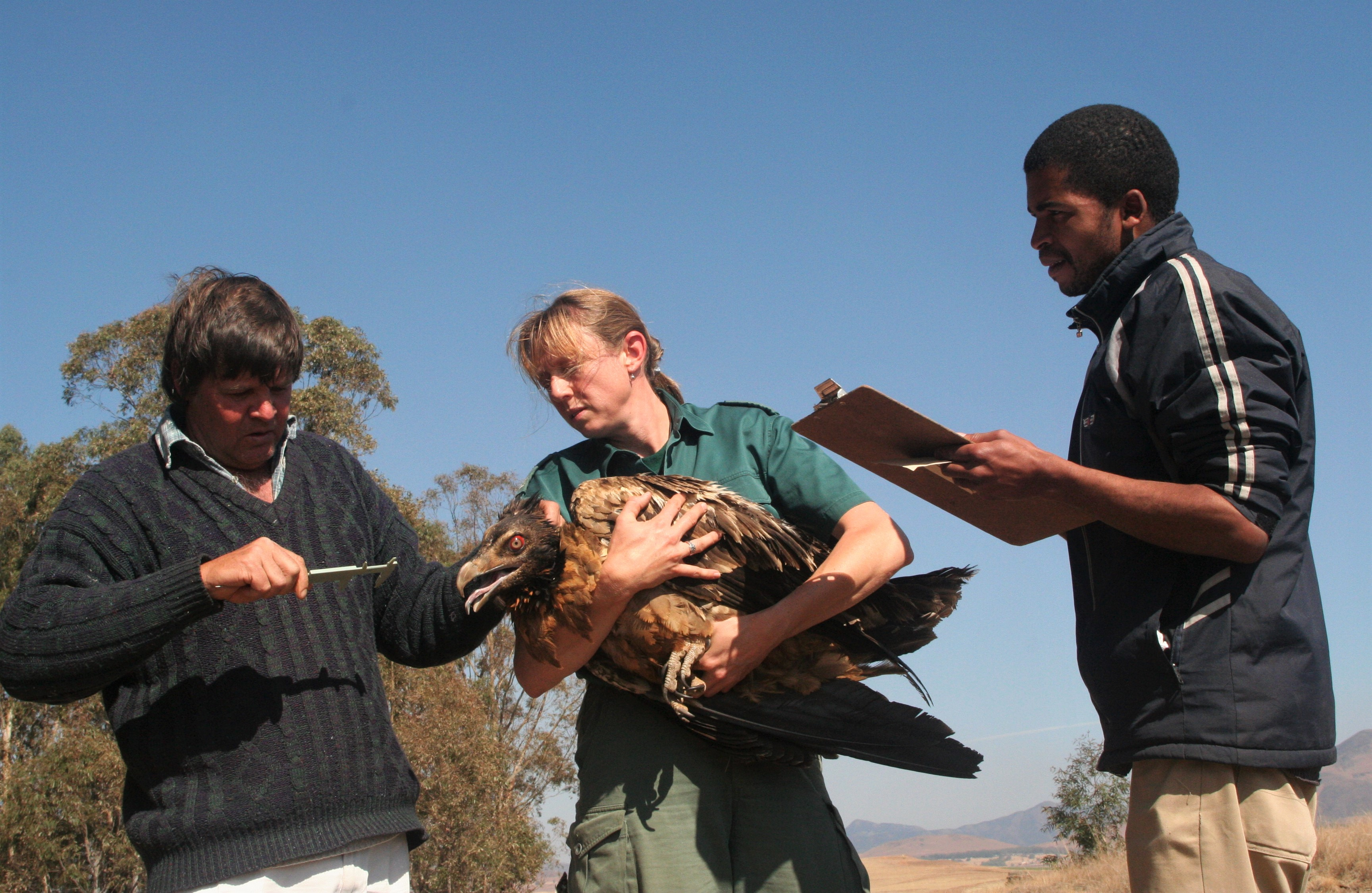 Sonja Krüger and the project team takes measurements before fitting each bird with a backpack GPS transmitter.