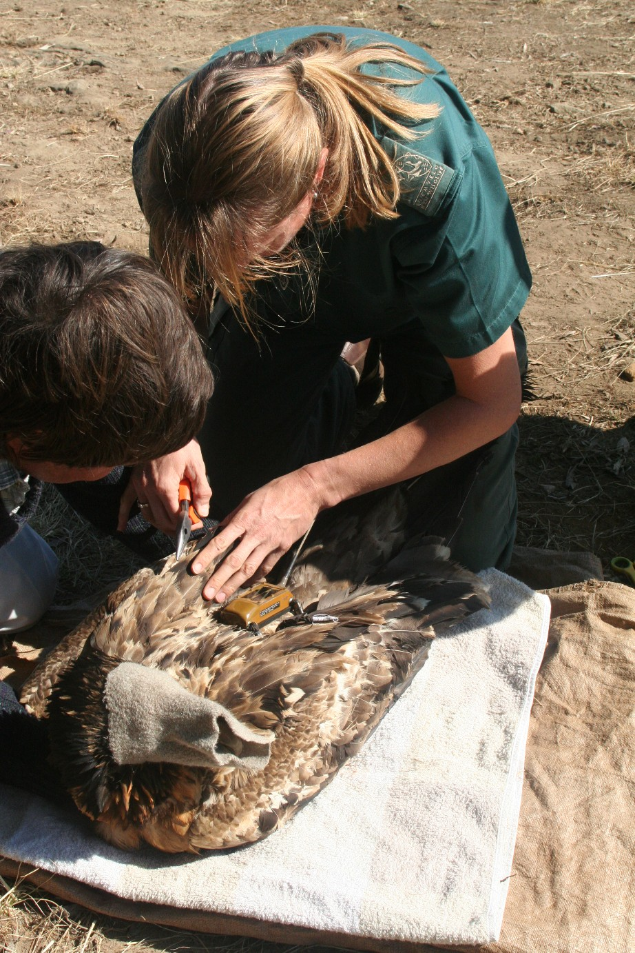 Krüger fits a backpack GPS transmitter on a vulture. Covering the bird's eyes calms it down as the miniature harness is put in place