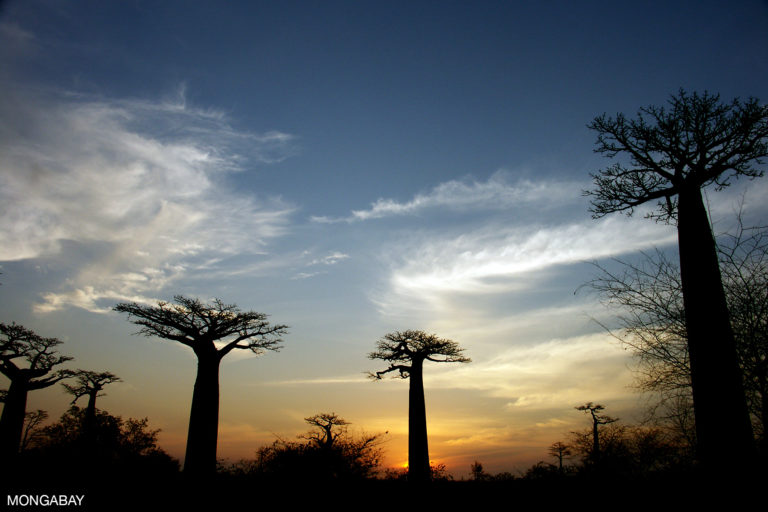 Baobab trees in Western Madagascar. Photo by Rhett A. Butler.