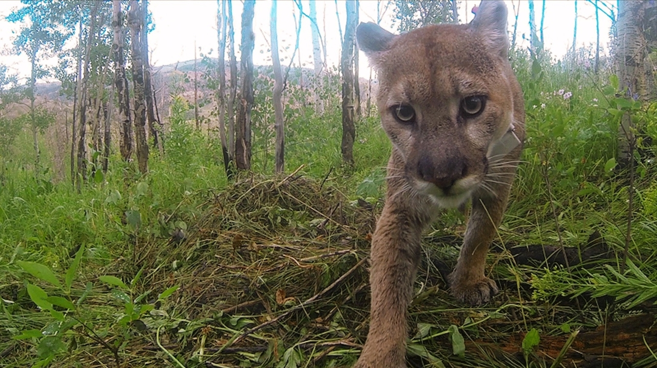 Pumas engineer their environment, providing habitat for other species
