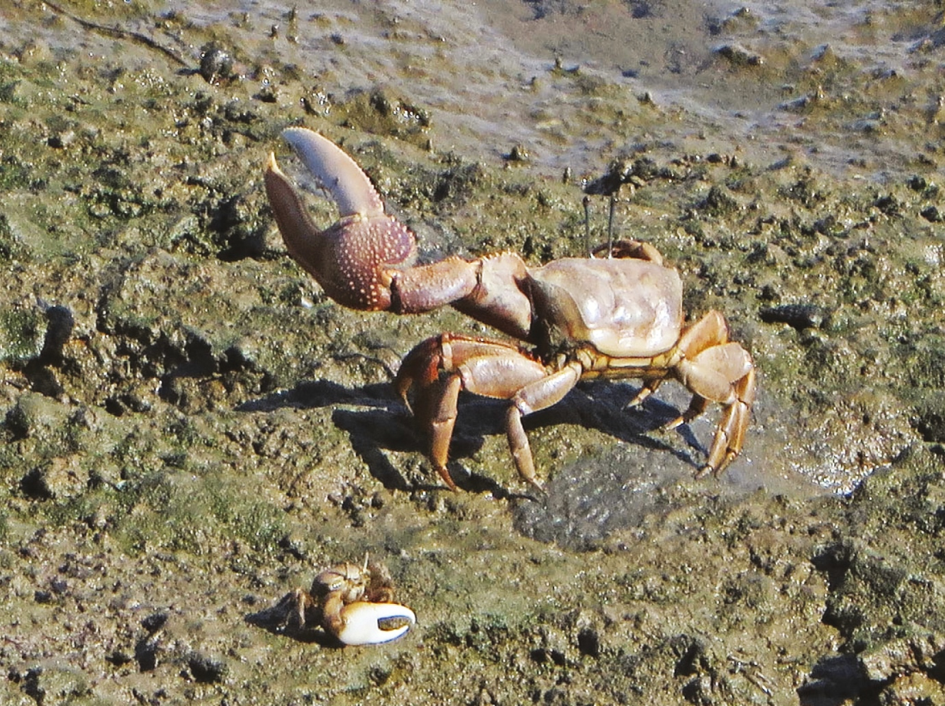 A displaying male large fiddler crab alongside a smaller male crab (Leptuca crenula) at Huntington Beach, California, USA. Male fiddler crabs use their large dominant claws to compete with each other for mates, and fiddlers are suspected to play an important role in wetlands by aerating mud flats with their underground burrows.