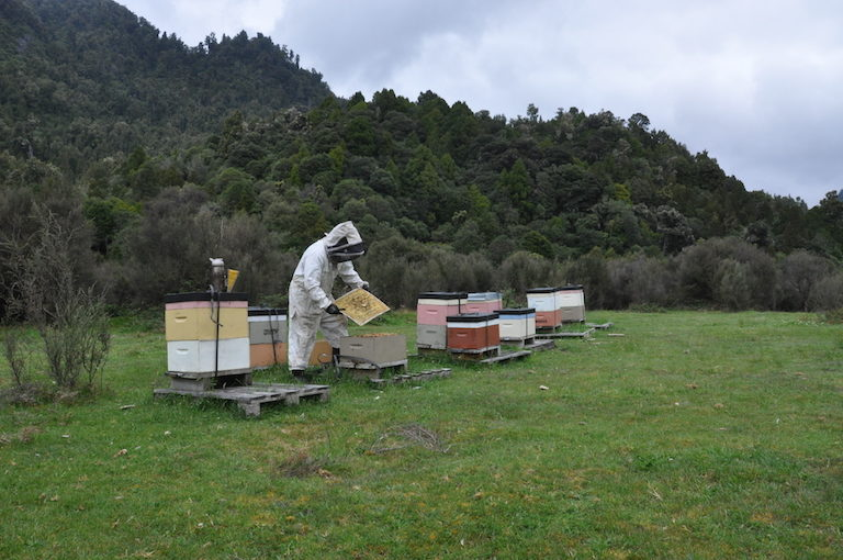 Beekeeper Nick Mītai examines a frame from a hive. Image by Monica Evans for Mongabay.