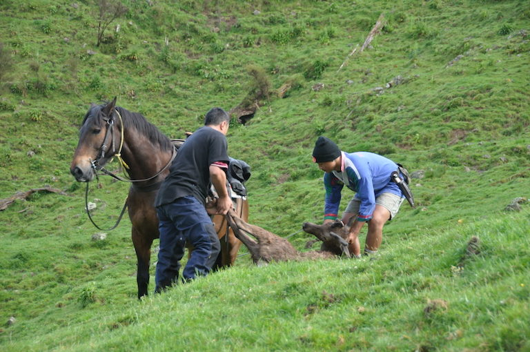 Puke Tīmoti (left) and Hemiona Nuku (right) prepare to lift a shot deer onto their horse to take home. Image by Monica Evans for Mongabay.