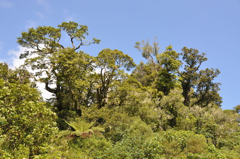 Some mature rimu podocarps (Dacrydium cupressinum) still tower over the tawa-dominated lower canopy. Image by Monica Evans for Mongabay.