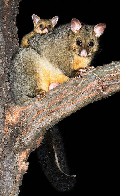 Brushtail possums (Trichosurus vulpecula), an introduced species in New Zealand that locals hunt for the fur industry. Image by JJ Harrison via Wikimedia Commons (CC BY-SA 2.5).