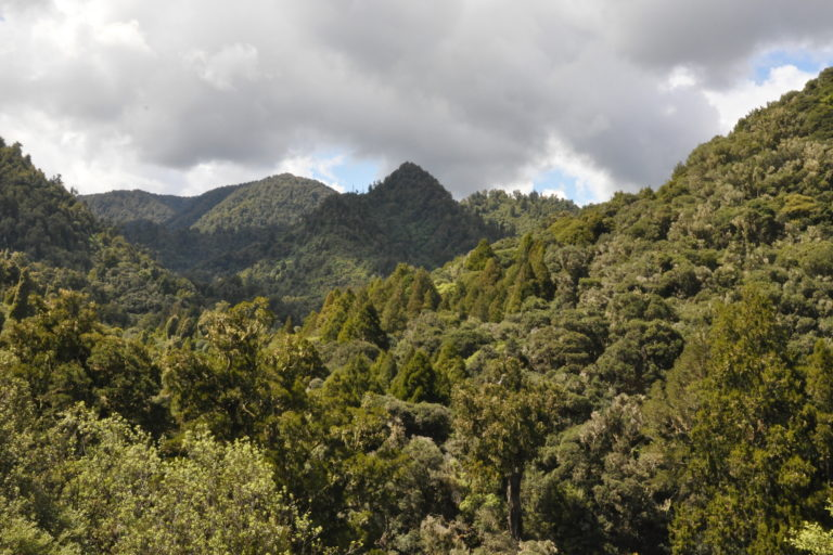Rimu trees (Dacrydium cupressinum), a native member of the coniferous Podocarpaceae family that the Ruatāhuna community is trying to restore, emerge through the forest canopy dominated by tawa (Beilschmiedia tawa). Image by Monica Evans for Mongabay.