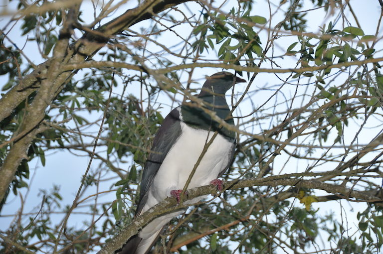 A kererū (native woodpigeon, Hemiphaga novaeseelandiae). The birds are culturally and ecologically important for Tūhoe. Image by Monica Evans for Mongabay.