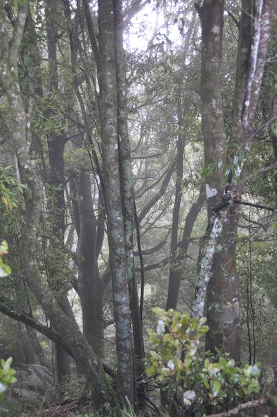 Tawa (Beilschmiedia tawa), and māpou (Myrsine australis) trees on a Tuawhenua ridgeline. Image by Monica Evans for Mongabay.