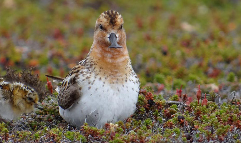 Shorebirds can no longer count on the Arctic as a safe haven for rearing their young