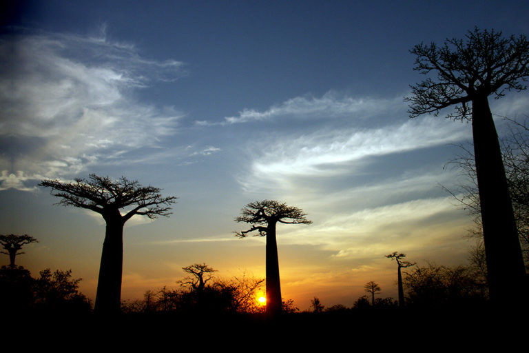 Baobab trees in Western Madagascar.