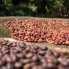 Coffee drying outside the house of Abdul Kadeem in Manyate Village on the outskirts of Harenna Forest. Photo by Nathan Siegel for Mongabay.