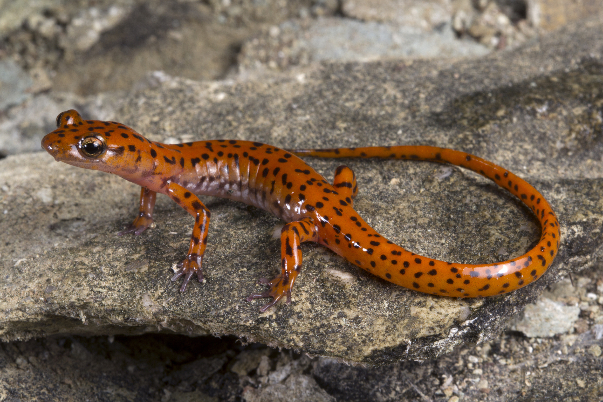 'Death by a thousand holes': Scientists race to avert a salamander crisis