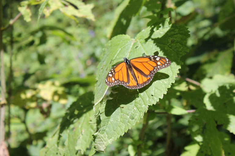 Deforestation and mining threaten a monarch butterfly