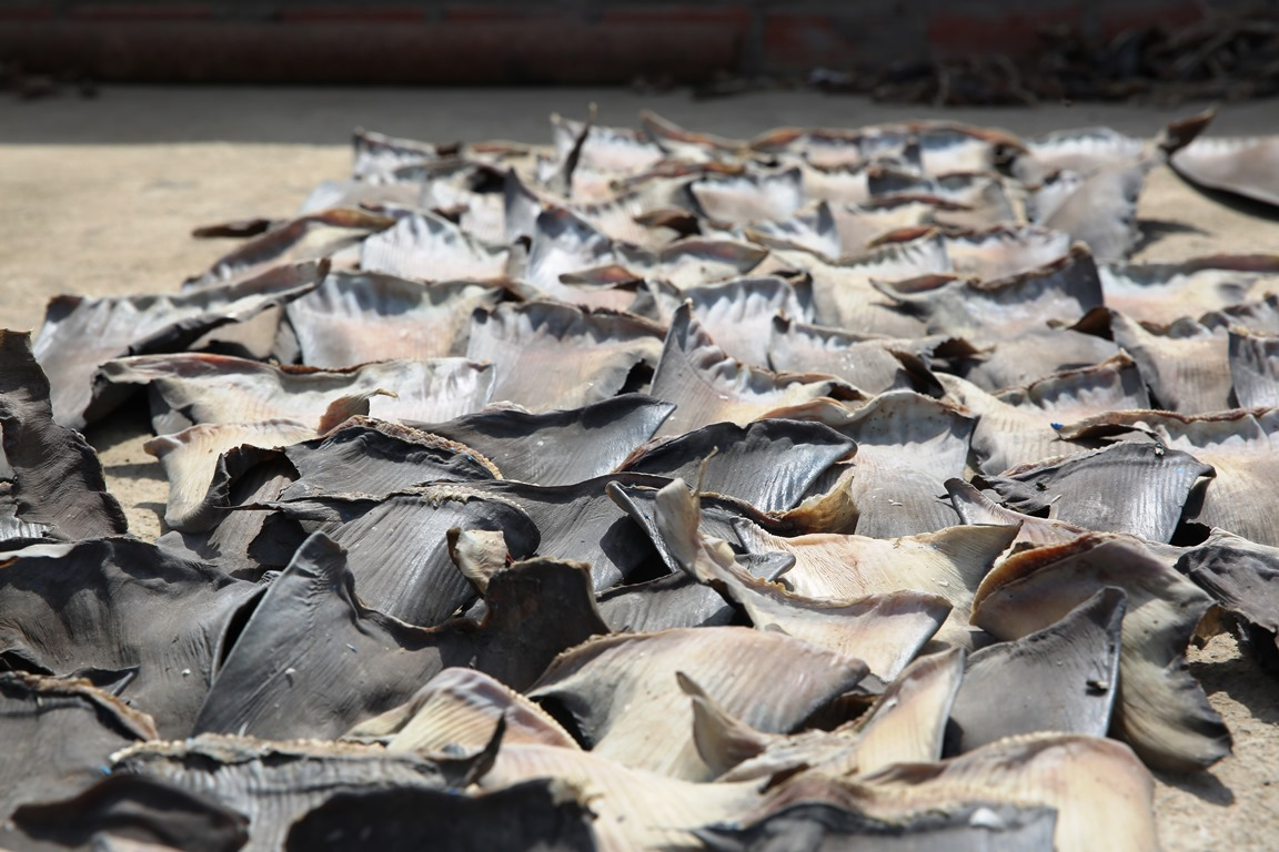 Shark fins drying on the rooftop of a trader in Peru. Some 100 million sharks are killed each year for their fins.