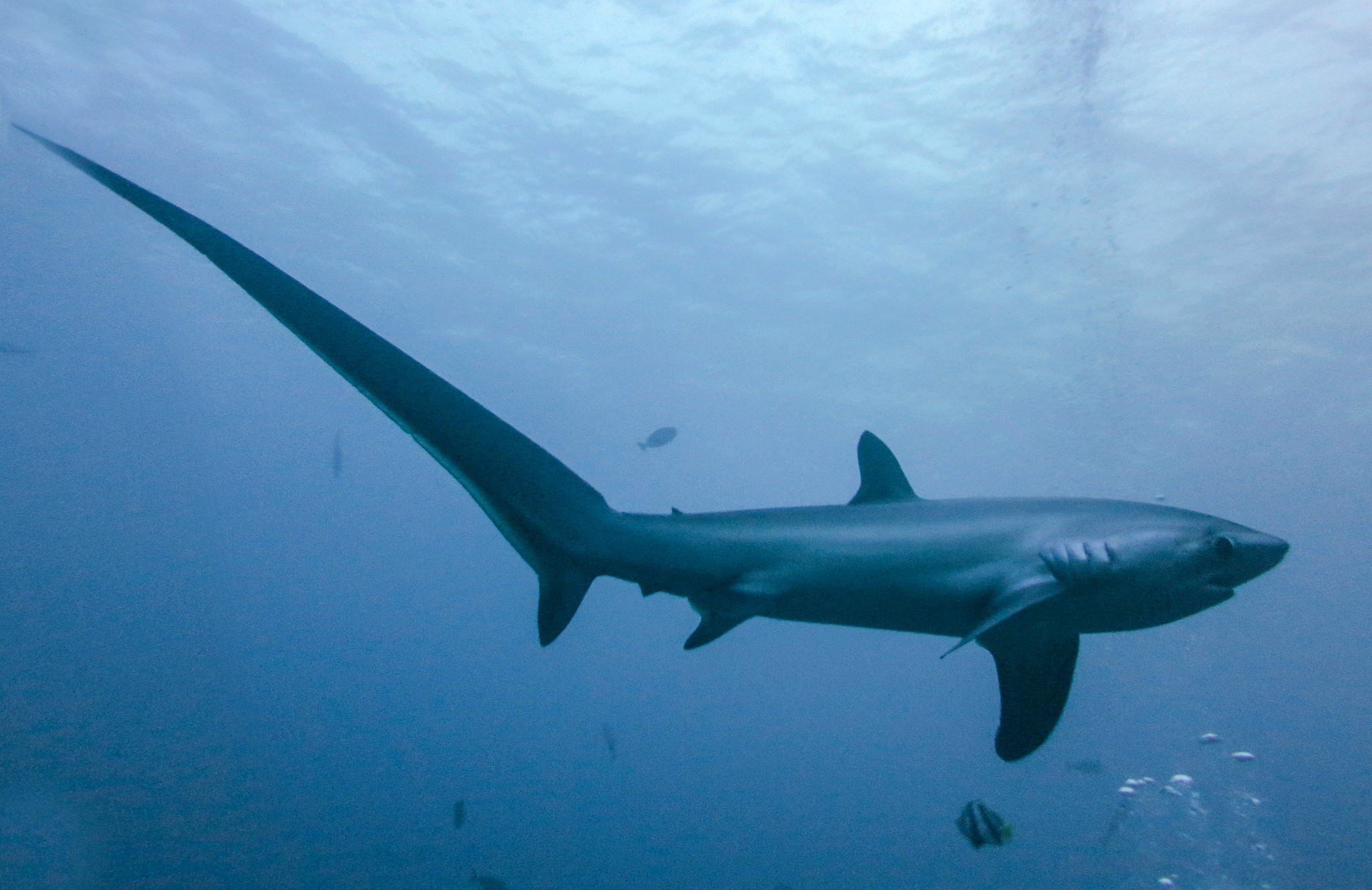 A thresher shark, another CITES Appendix II-listed shark species, in the Philippines. The long tail is said to be used as weapon to slap and stun fish, making them easy prey.