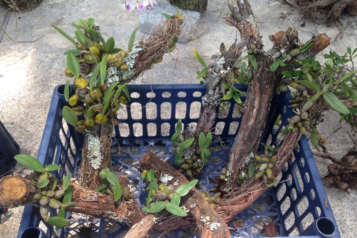 Wild orchids still attached to tree branches, for sale in a street market in China. Photo courtesy Amy Hinsley.