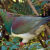 A kererū (native woodpigeon, Hemiphaga novaeseelandiae). The birds are culturally and ecologically important for Tūhoe. Image by Bernard Spragg. NZ via Flickr.