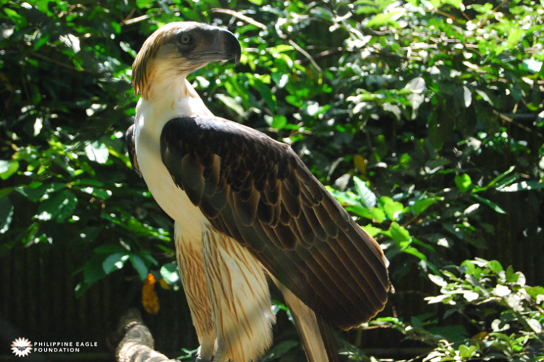 The Philippine eagle is considered the longest eagle in the world. Image courtesy of the Philippine Eagle Foundation.