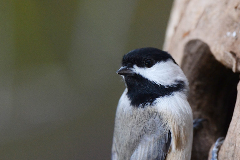 Chickadee perches. Photo by Doug Tallamy of the University of Delaware.