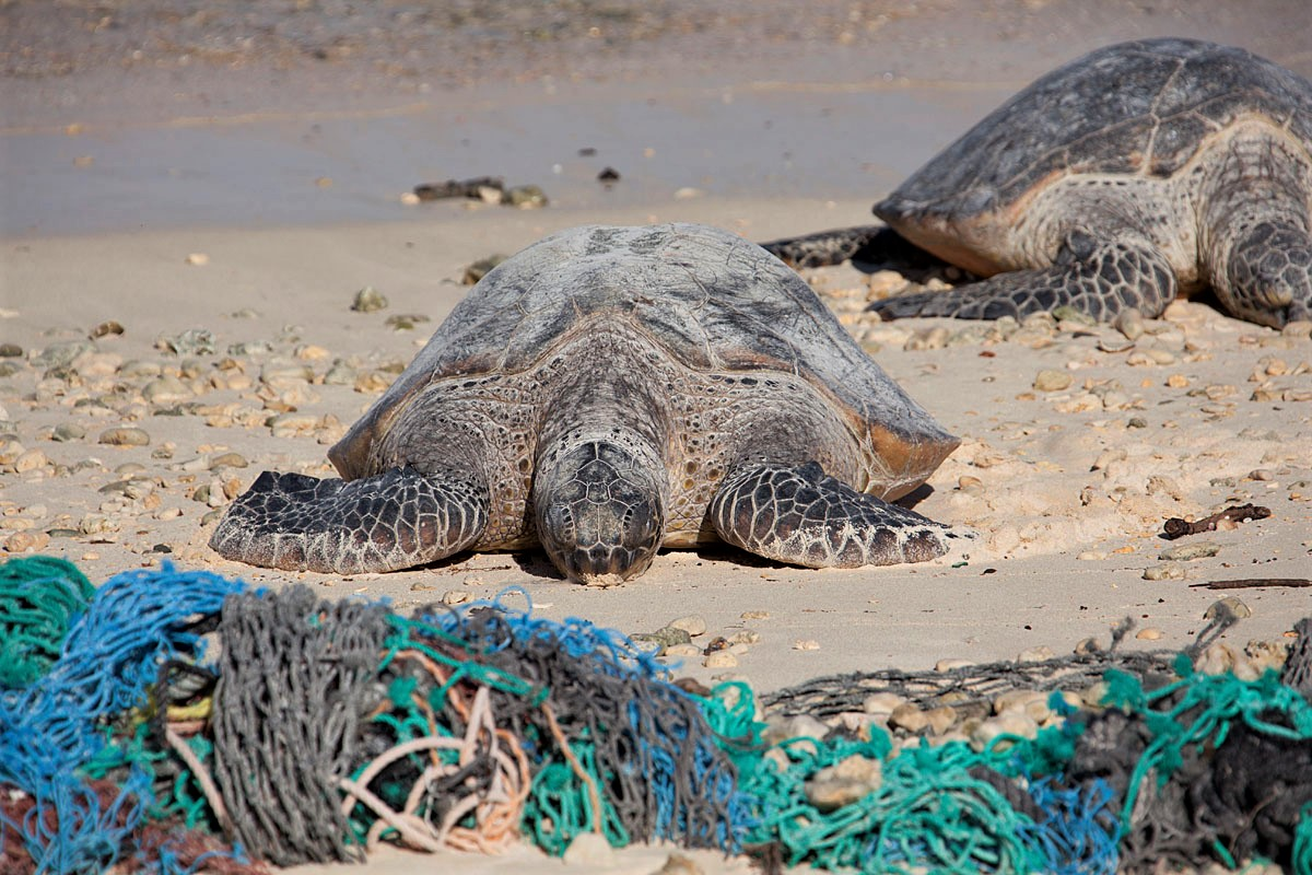 Plastic pollution threatens sea turtles such as these green sea turtles, which accidentally or intentionally ingest litter that washes into the ocean, mistaking the trash as jellyfish or other prey items.