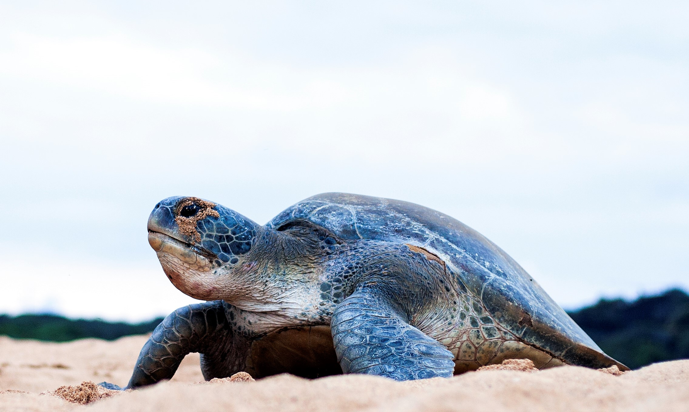 Females sea turtles must return to their nesting beaches to lay their eggs in the sand. Their slow movements on land make this a risky period. Human development and beach erosion make the process more arduous.
